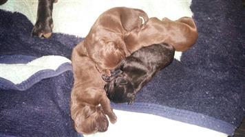 GSP German Shorthair Pointer Puppies Kusa Registers
