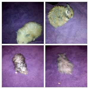 Teddybear hamsters for sale