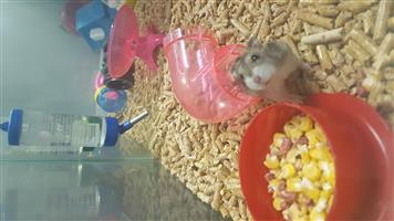 RUSSIAN DWARF AND TEDDY BEAR HAMSTERS FOR SALE AT PETS4LIFE BRACKENFELL