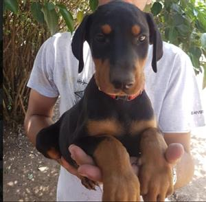 Doberman Pinscher ( Large type)