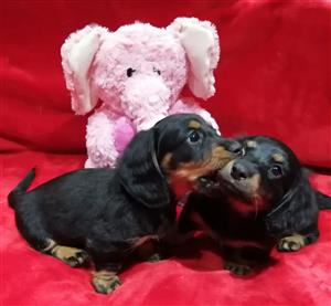 Female Mini longhaired dachshunds for sale