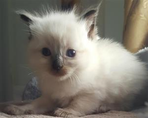 ragdoll kittens blue eyes