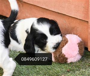 Registered English Springer spaniel puppies