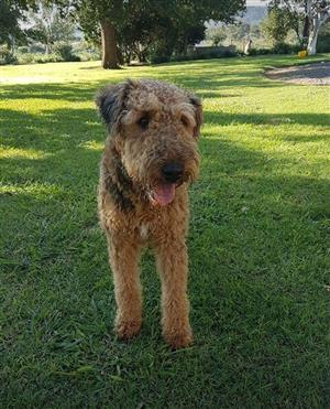 Airedale Terrier pups KUSA registered