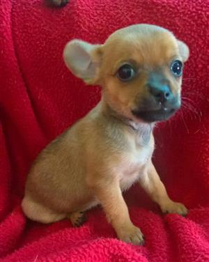 Miniature Pincher cross Chihuahua for sale