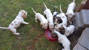 Bassett puppies  for sale