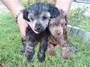Frech poodle puppies