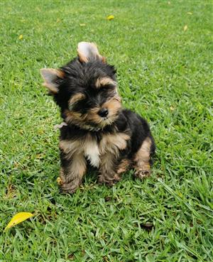 Registered Male Yorkie puppy