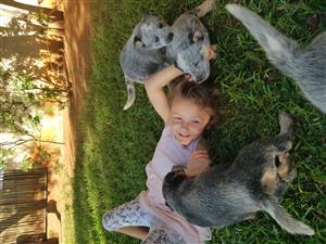 Beeshondjies te koop! (Australian Cattle dogs)