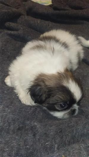 Pekingees puppies