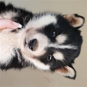Husky male pup
