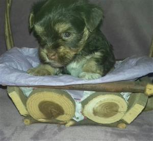 Pedigree Yorkies