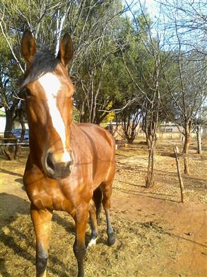 stunning thoroughbred mare for sale.