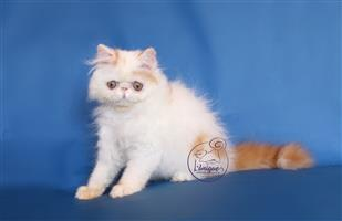 Red Harlequin Persian Boy For Sale