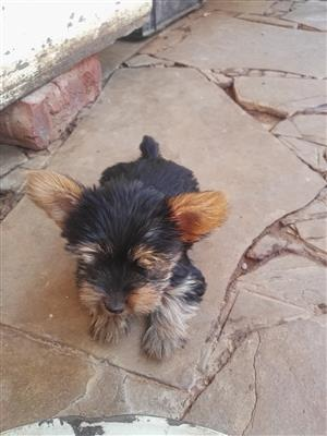 Pedigree yorkies for sale