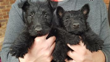Opregte Swart Scottish terriers tefies