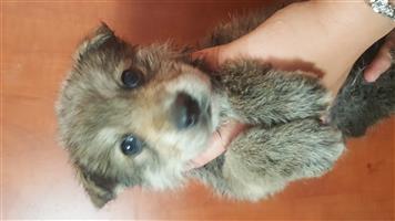 Germanshepard Husky mix puppies for sale