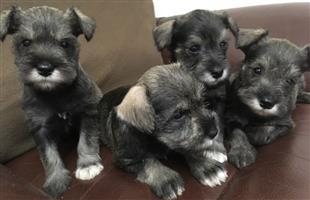 4 Super Miniature Schnauzer Puppies