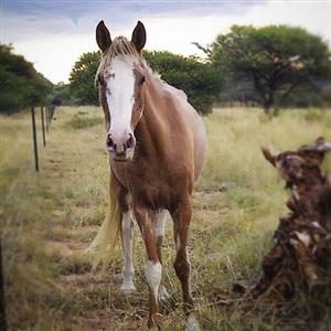 Sabino Quarter Horse cross Mare.