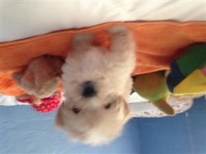 Adorably cute Maltzu puppies for sale Maltese mini and Shih Tzu