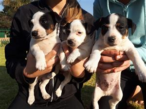 Jack russel x fox terrier puppies