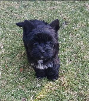 Dogs and Puppies in Pretoria | Junk Mail
