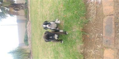 2 x Male Boxer Puppys