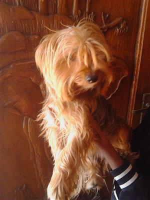 purebred pedigree Yorky female puppy