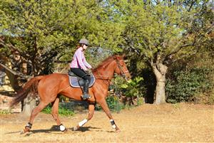 Super Talented Thoroughbred Gelding for sale