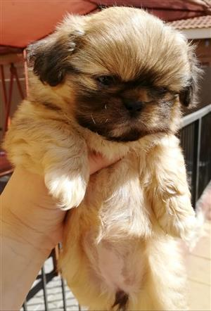 PUREBRED FEMALE PEKINGESE PUPPY