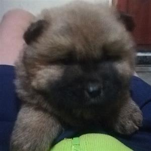Chow chow puppies black or brown female.