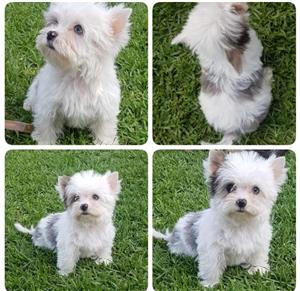 Blueberry Tweed Blue diamond Exotic Male Yorkie puppy available