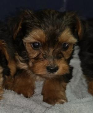 Beautiful Yorkshire Terrier miniature puppies