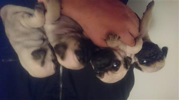 Pug pups for sale..