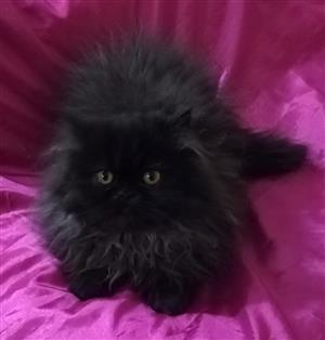 Beautiful Black Smoke Purebred Persian Female Kitten available