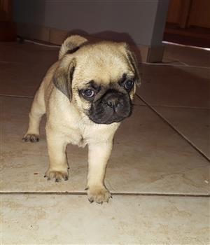 Beautifull pure bred pug female