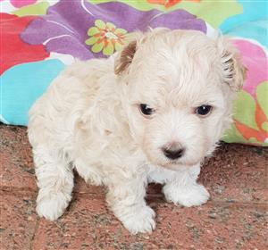 Pedigree Miniture Maltese Puppies