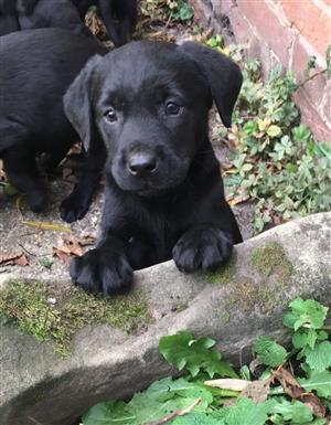 Labrador Retriever Kusa Registered