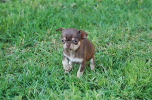 Chihuahua miniature male puppy