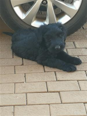 Giant Schnauzer puppies for sale