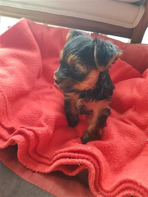 Yorkie puppies (miniature)