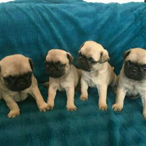 beautiful fawn male puggies available