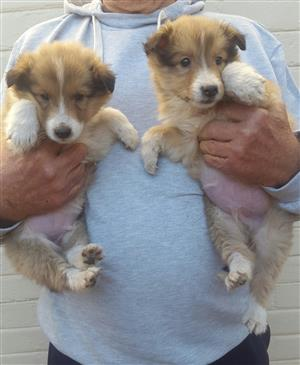 Lassie Rough Collie pups