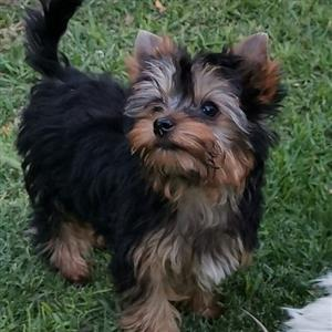 Registered Miniature Male Yorkie puppies