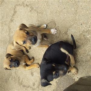 Lovely Labrador crossed Shepard puppies