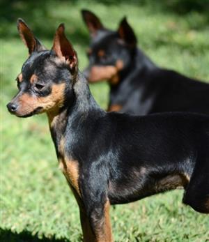 Miniature Doberman Pinscher puppy (Bokkie hond)