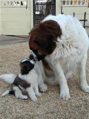 Purebred St Bernard pups for sale