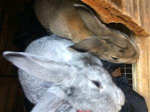 Rabbits for sale thye are 6 months and 8 months i think they both femals