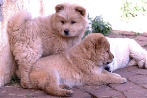 7 purebred Chow puppies, 9 weeks old vaccinated & dewormed, 3 females & 4 males @ R2000.00 each