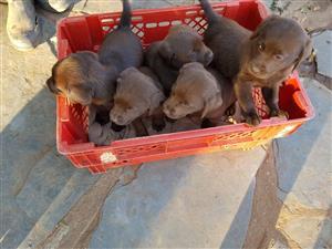 Opregte Chocolate Labrador Hondjies